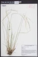 Agrostis elliotiana image