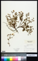 Image of Potentilla anglica