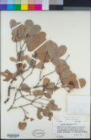 Quercus engelmannii image