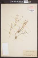 Image of Eriogonum baileyi