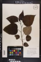 Populus x gileadensis image