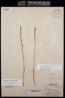 Image of Platanthera yosemitensis