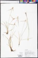 Lipocarpha maculata image