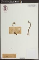 Gratiola aurea image