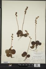 Pyrola minor image