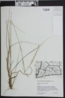 Aristida condensata image