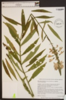 Physostegia virginiana subsp. virginiana image