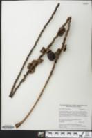 Image of Oenocarpus bataua