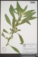 Hydrolea corymbosa image