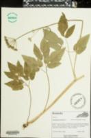 Aegopodium podagraria image