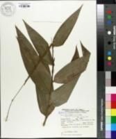 Image of Olyra fasciculata