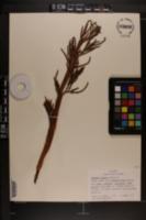 Serenoa repens image