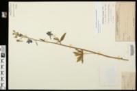 Image of Delphinium alabamicum