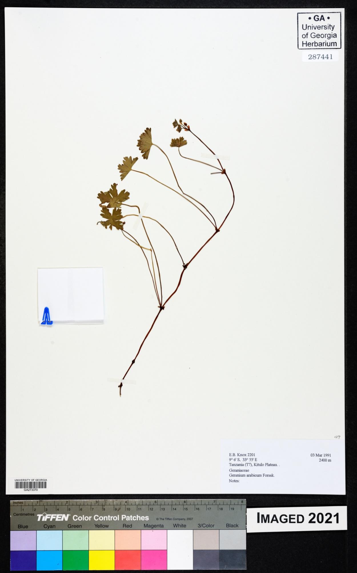 Geranium arabicum image