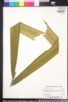 Image of Aiphanes minima