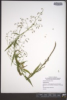 Campanula divaricata image