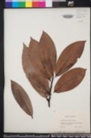 Diospyros blancoi image