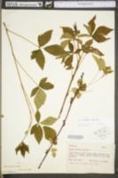 Image of Rubus notatus