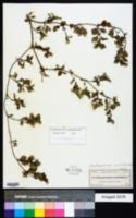Image of Acanthospermum xanthioides