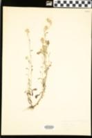 Antennaria canadensis image