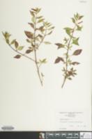 Image of Cuphea ignea