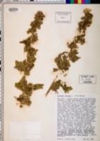 Image of Lavatera arborea