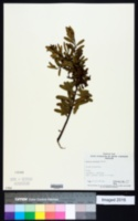 Image of Acacia montana