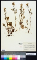 Image of Capnoides curvisiliqua