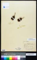 Yucca filamentosa image