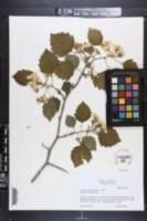 Crataegus pennsylvanica image