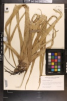 Image of Eryngium eburneum