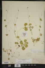 Hydrocotyle americana image