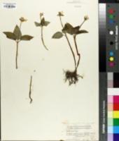 Trillium rivale image