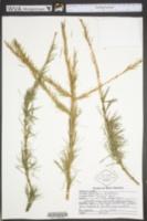 Image of Larix leptolepis