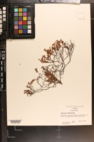 Hypericum suffruticosum image
