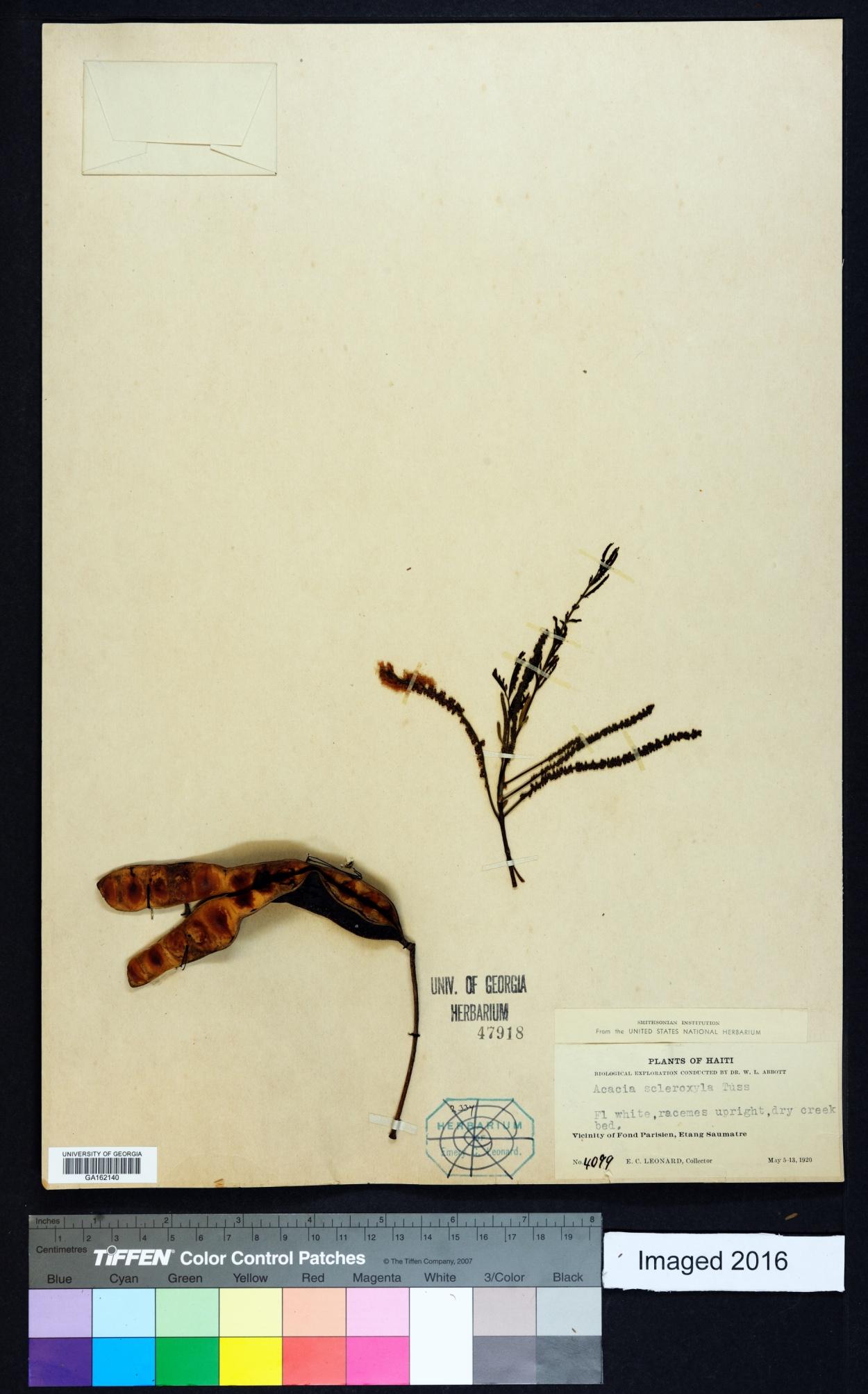 Acacia scleroxyla image