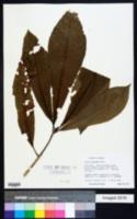 Image of Alseis blackiana