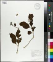 Jasminum marianum image