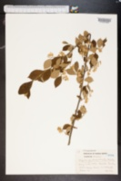 Image of Styrax pulverulentus