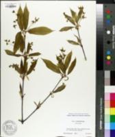Image of Acer carpinifolium