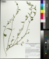 Tragia urticifolia image