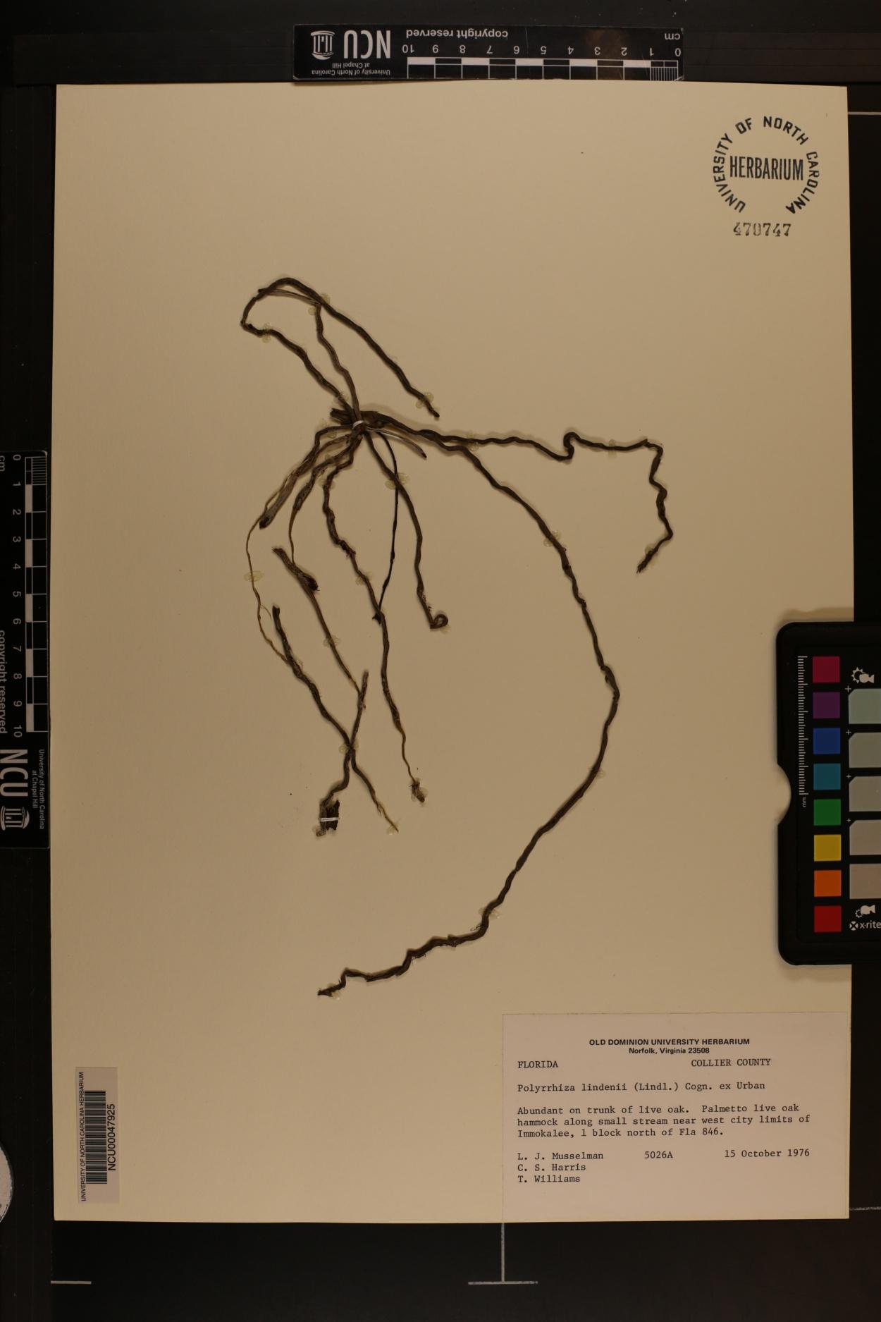 Polyradicion lindenii image