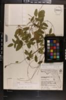 Centrosema arenicola image