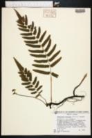 Thelypteris totta image