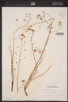 Toxicoscordion brevibracteatum image