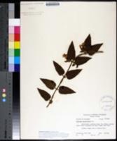 Image of Jasminum elongatum
