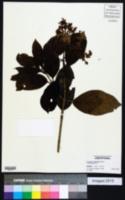 Image of Hydrangea integrifolia