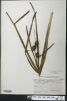 Sparganium americanum image