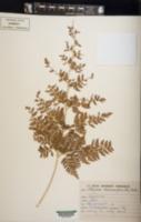 Athyrium anisopterum image