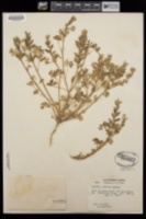Lupinus concinnus subsp. orcuttii image